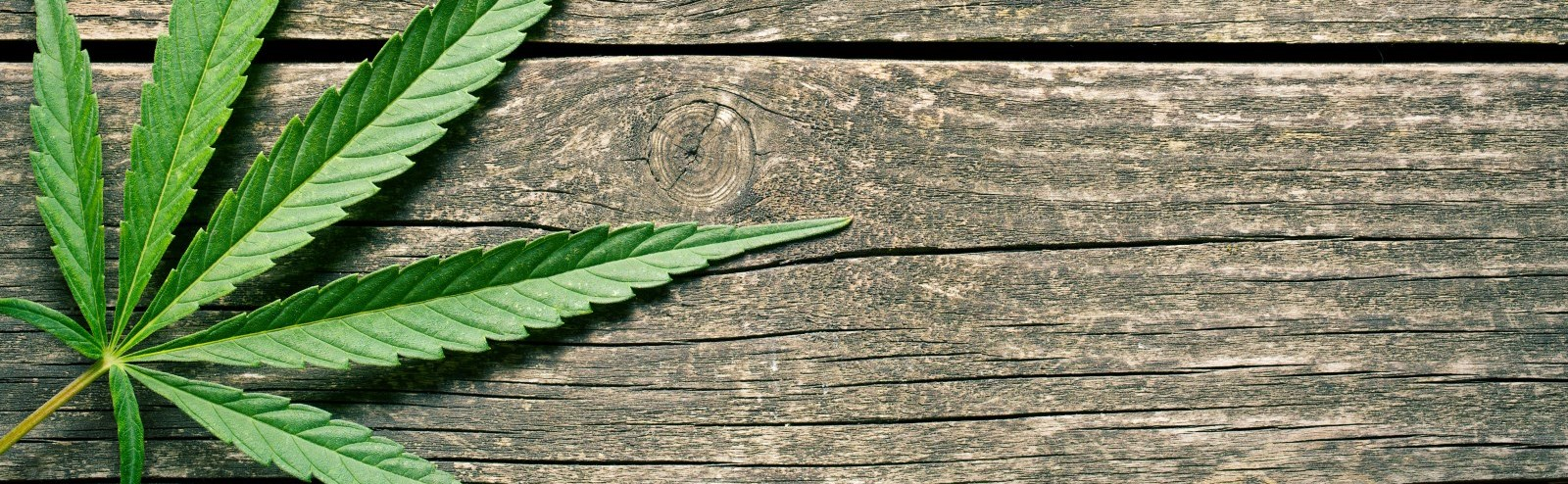 Cannabis leaf on wooden background